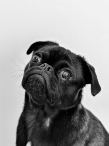 Cute dog tilting head